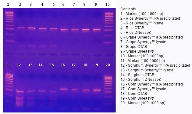 Figure 2.  PCR of rice, grape, sorghum, and corn using Synergy™,CTAB, and DNeasy® isolated DNA.